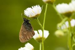 Coenonympha pamphilus (Lt_Dan) Tags: butterfly coenonymphapamphilus farfalla smallheathbutterfly canon600d canon100f28macro alpago belluno veneto italia italy macro macrophotography nature natureshot natura naturephotography