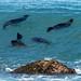 Australasian fur seals @ Middleton