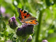 Small Tortoishelle (eric robb niven) Tags: ericrobbniven scotland cycling fife small tortoishelle butterfly wildlife nature springwatch