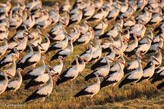 Cigüeña Blanca, White Stork (Ciconia ciconia) (Corriplaya) Tags: cigüeñablanca whitestork ciconiaciconia corriplaya aves birds