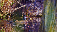 Wood Duck (Aix sponsa), Miller Creek - Duluth MN, 06/29/18 (TonyM1956) Tags: elements millercreek duluth minnesota stlouiscounty nature tonymitchell woodduck duck waterfowl aixsponsa sonyalphadslr
