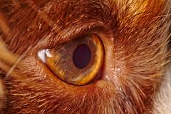 Watchdog (R.D. Gallardo) Tags: watchdog perro guardian ojo eye buru luna dog macro canon eos 6 6d eos6d sigma 105mm f28 macrofotografia macrofotografía