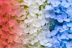 Happy Birthday America. (Omygodtom) Tags: hydrangea red white blue birthday macro bokeh colorful colours flower flickriver flickr explorer firefox america usa nikon