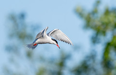 Common Tern hovering over pond in Boucherville (miro_mtl) Tags: boucherville commontern d7200 michelrochon montreal nikond7200 sternahirundo sternepierregarin tamronsp150600mm amerique bird blanc blanche bleu bluesky canada diving fishing flight hunting oiseau parc patience pond water wildlife parcdesvoiles