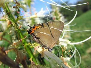 Butterfly 1703