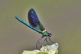 Caloptérix vierge - Calopterix virgo - Beautiful demoiselle