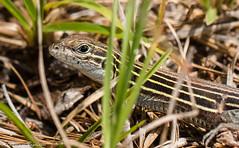 Six-lined racerunner - Leland, North Carolina (superpugger) Tags: whiptails lizards herptiles herptile herping reptiles reptile reptilesandamphibians northcarolinawildlife sixlinedracerunner