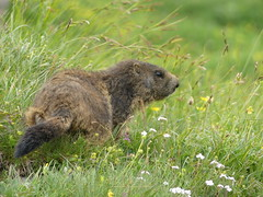 Murmeltiere (tagewiedieser) Tags: schweiz switzerland swiss murmeltier marmot alps alpen panasonic fz300