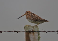 Common Snipe (Martial2010) Tags: common snipe north uist outer hebrides scotland canon