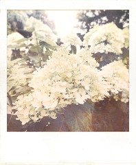 Hydrangea, antiqued. (jeanne.marie.) Tags: summer flowers antiqued iphoneography iphone7plus textured hydrangea