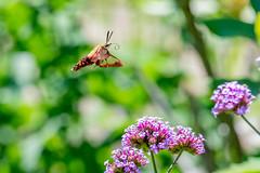 07122018-236-1 (bjf41) Tags: hummingbirdmoth moth hummingbird flight flower flowers flying fast challenging nikon nikond600 nikon200500 200500 500mm nature bugs