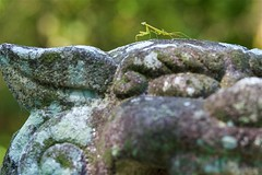 """Mantis on the guardian lion dog """"komainu"""" (takapata) Tags: sony sel90m28g ilce7m2 macro nature insect mantis"""