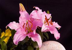 Mi Jadín...!! (Camelia-5) Tags: flor jadín lilium