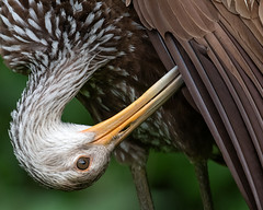 Limpkin (PeterBrannon) Tags: aramusguarauna bird florida habitat limpkin nature preening wildlife closeup morning