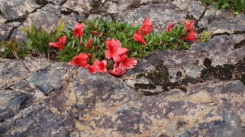 wild azalea in the rock