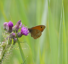Meadow brown (yvonnepay615) Tags: panasonic lumix gh4 nature nationaltrust nt wickenfen cambridgeshire eastanglia uk