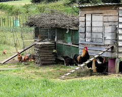 French style ... (ronmcbride66) Tags: france hens cockerel frenchcockerel henhouse henrun rural