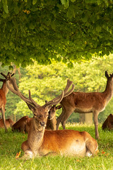 Red Deer Stag (mlomax1) Tags: cheshire reddeer stag england tree tattonpark canoneos80d grass canon antlers velvet wildlife mammal