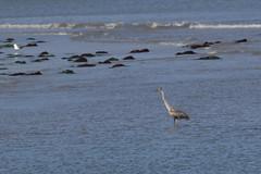 IMG_2473 (armadil) Tags: mavericks beach beaches bird birds flying californiabeaches heron greatblueheron blueheron