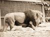 El Rey (Lograi) Tags: barcelona cataluña catalunya catalonia españa espanya spain geoetiquetada geotagged zoo zoológico león lion animal bw blancoynegro byn blackandwhite blackwhite bn sepia