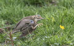 Sometimes you just have to (davidrhall1234) Tags: songthrushturdusphilomelos songthrush thrush benderloch scotland birds bird birdsofbritain beak scratch itch countryside nature nikon feather outdoors wildlife world woodland