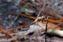 ...golden eyes (Jim Atkins Sr) Tags: dragonfly libellulaneedhami needhamsskimmer fairfieldharbour northcarolina sony sonyphotographing dschx20v