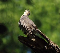 1S9A4235 (saundersfay) Tags: sparrowhawks hot cooling feathers preening birds trees woods