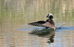 Long-tailed Duck ♂ - Harelde kakawi ♂ - Clangula hyemalis (D72_3040-1PE-20180507) (Michel Sansfacon) Tags: hareldekakawi longtailedduck clangulahyemalis nikond7200 sigma150600mmsports sigmatc1401