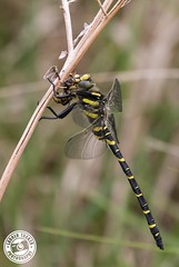 Golden Ringed Dragonfly - Cordulegaster boltonii (Lauren Tucker Photography) Tags: butterfly closeup dragonfly goldenringeddragonfly macro nature wildlife uk south west england exmoor unitedkingdom summer spring 2018 june holiday canon slr 7d markii camera photographer photography photograph photo image picture pic copyright ©laurentuckerphotography allrightsreserved close up wild cordulegaster boltonii