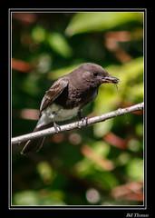 Black Phoebe-1 (billthomas_steel) Tags: blackphoebe sayornisnigricans bird rarebird fraservalley flycatcher insect hunting britishcolumbia canada canon eos7dmarkii wildlife