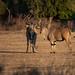 Elands, Mana Pools National Park, Zimbabwe