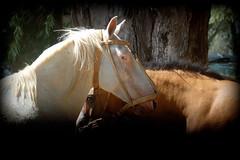 Reservados (Eduardo Amorim) Tags: cavalos caballos horses chevaux cavalli pferde caballo horse cheval cavallo pferd cavalo cavall 馬 حصان 马 лошадь crioulo criollo crioulos criollos cavalocrioulo cavaloscrioulos caballocriollo caballoscriollos ayacucho provinciadebuenosaires buenosairesprovince argentina sudamérica südamerika suramérica américadosul southamerica amériquedusud americameridionale américadelsur americadelsud eduardoamorim