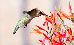 Costa's Hummingbird -- Female (Calypte anna); Catalina, AZ [Lou Feltz] (deserttoad) Tags: nature arizona bird wildbird songbird hummingbird desert flight flower bloom cactus