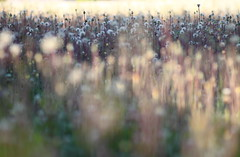 Quand tu me troubles... (CécileAF) Tags: canon flowers wild nature spring bokeh garden fields dreamy pastel