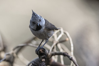 Lophophanes cristatus, _DSC5357_NKD500_Bordasbird
