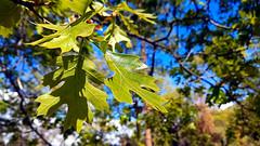 Black Oak (EmperorNorton47) Tags: sanbernardinonationalforest california angelusoaks photo digital spring blackoak quercuskellogii leaves oak tree cameraphone
