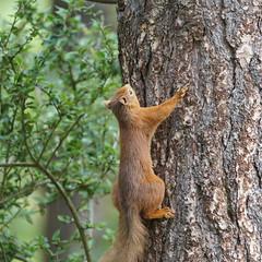 Red Squirrel (Dr Wood's Wildlife Photos) Tags: redsquirrel sciurusvulgaris écureuil gwiñverrous egern veverka orav orava σκίουροσ voverė ekorn wiewiòrka veverita feòrag veverica sincap ardillaroja écureuilrouge roteseichhörnchen scoiattolorosso