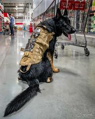 20180621-IMG_9694 Air Borne dog (susi luard 2012) Tags: airforce dutch southcarolina spartanburg us usa costco dog shepherd