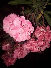#flowers #nature #masjidisa #tunisia (asma.brahim@rocketmail.com) Tags: masjidisa nature tunisia flowers
