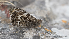 Grayling - Sandpoint, Somerset (snapp3r) Tags: butterfly grayling sandpoint somerset 2018