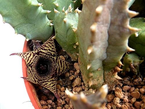 Huernia hystrix N.E.Br.