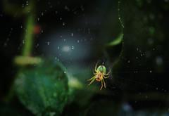 web'n'drops (zdm69) Tags: zdm69 olympus omd em1 zuiko 50mm macro makro nahaufnahme closeup nature flower rain drops