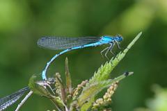 IMGP2111c Common Blue Damselfly, Lackford Lakes, June 2018 (bobchappell55) Tags: lackfordlakes nature wild wildlife suffolk commonblue damselfly insect enallagmacyathigerum