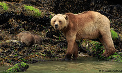 Grizzly Sow with Cubs - Glendale Cove, BC (bcbirdergirl) Tags: grizzlybear sow cubs mom mamma bear glendalecove knightinlet brownbear ursusarctos beautifulbritishcolumbia ursusarctoshorribilis