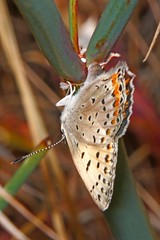 Gorgon Copper butterfly laying her eggs in the node of a Naked Buckwheat stem (edward_rooks) Tags: sierraazulopenspacepreserve bald mountain mount umunhum insects wildflowers butterflies bees wasps assassin bug