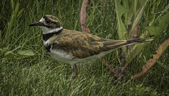 Killdeer-1600 (peter57117) Tags: killdeer charadriusvociferus bird manitoba