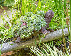 Turtle Topiary 2 (augphoto) Tags: augphotoimagery animal creative outdoors plants reptile sculpture topiary turtle unusual wildlife greenwood southcarolina unitedstates