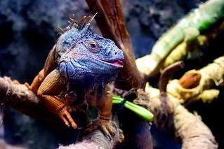 Green Iguana (Iguana iguana) of Ueno Zoo, Tokyo : グリーンイグアナ(上野動物園)