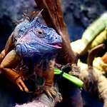 Green Iguana (Iguana iguana) of Ueno Zoo, Tokyo : グリーンイグアナ(上野動物園) thumbnail