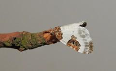Blue-bordered Carpet Moth (Plemyria rubiginata) (Nick Dobbs) Tags: bluebordered carpet moth rubiginata insect dorset nocturnal plemyria geometridae larentiinae